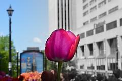 la divide (|||Leviathan|||) Tags: flower black white bw saint john flora transition fade