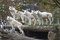 Lots of arctic wolves posing (Tambako the Jaguar) Tags: many pack posing inaline together family wolf canine canid white actic polar parcanimalier saintecroix park parc rhodes zoo france nikon d5