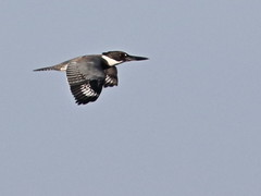 Belted Kingfisher female 20161205 (Kenneth Cole Schneider) Tags: florida miramar westbrowardwca