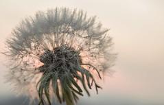 Winter Sunrise (nicoletta_raschella) Tags: autumn zalaegerszeg sunrise macro waterdrops dandelion nature weather colors winter nicolettaraschella nikon nikond3200