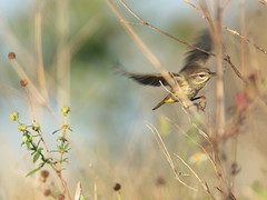 Palm Warbler 2-20161205 (Kenneth Cole Schneider) Tags: florida miramar westbrowardwca