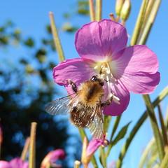 (Landanna) Tags: blue flower nature blauw natur natuur bluesky bee blomst bi bij bloem bl