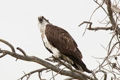 Female Osprey gets vocal