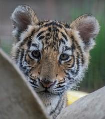 Bengal Tiger Cub (Sandra Wildeman) Tags: cute cat zoo nikon tiger portrt 70300mm tierpark tijger tigre bigcats dierentuin dierenpark bengaltiger olmen felidae knigstiger welp olmensezoo pantheratigristigris bengaalsetijger katachtigen tigredebengale royalbengaltiger d5300 indischertiger tijgerwelpjes
