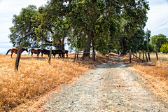 Waiting in the Shade (stephencurtin) Tags: california county horses hot grass landscape dry eldorado shade thechallengefactory