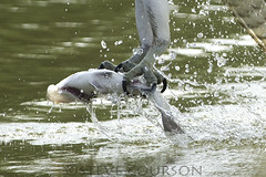osprey talons and one catfish meal (Steve Courson) Tags: catfish osprey talons catchingfish stevecourson