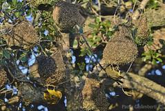 uccelli Tessitori, Weavers nests (paolo.gislimberti) Tags: birds southafrica uccelli colonia colony animalarchitecture nests dehoopnaturereserve sudafrica nidi animalbehavior comportamentoanimale architettutaanimale riservanaturaledehoop