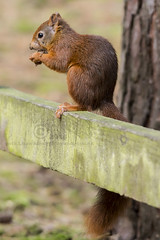 3624  Red Squirrel at Formby woods (Pete.L .Hawkins Photography) Tags: red cute woods squirrel pentax tail nuts fluffy p formby nutkins fantasticnature sigma150500 petehawkins pentaxk3 petelhawkinsphotography petelhawkins