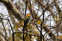 IMG_7759 Chestnut-headed Bee-eater (Cliff Buckton) Tags: indonesia java chestnutheadedbeeeater