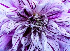 dahlia blossom (okulario) Tags: dahlia