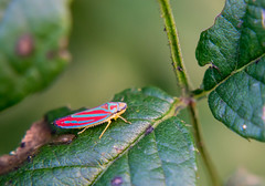 Something tiny for Tuesday (tquist24) Tags: autumn macro fall bug insect geotagged nikon colorful unitedstates indiana elkhart leafhopper spittlebug froghopper bootlakenaturepreserve nikond5300