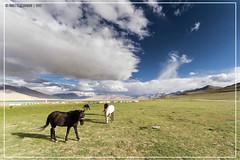 "Ladakhy horses <a style=""margin-left:10px; font-size:0.8em;"" href=""http://www.flickr.com/photos/66444177@N04/21550064659/"" target=""_blank"">@flickr</a>"