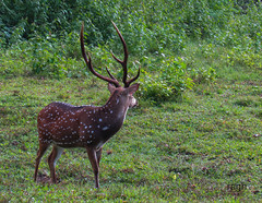 dear (raghphotography) Tags: wyanad raghphotography kerala forest canon ragh 520hs wayanadwildlifesanctuary