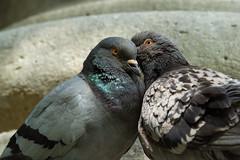 j'ai un secret... (mout1234) Tags: couple pigeon paris ledefrance france fr sonya65