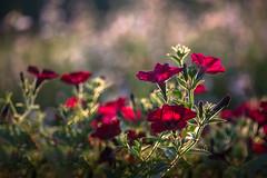 Kissed by Light (Elizabeth_211) Tags: flowers nature backlight garden tennessee 100mm petunias 6d jacksontn westtn sherielizabeth