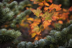 Embracing Autumn (Joshua Johnston Photography) Tags: autumn fall nature oregon zeiss 50mm hiking pacificnorthwest ze mthoodnationalforest canon6d makroplanart250 planart250 joshuajohnston