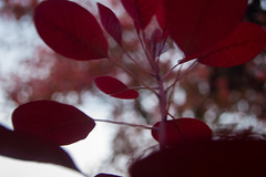 Red (Ludvius) Tags: autumn red flower fall grimstad dømmesmoen ludovicophotography wwwludovicophotocom