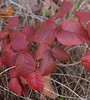 poison ivy (sara_rall) Tags: rutgersgardens