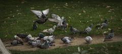 Palomas (seguicollar) Tags: nikon paloma 5200 comiendo vuelo volando