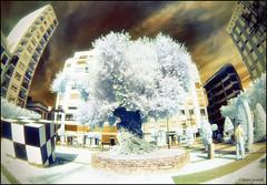 (2187) Olivera millenria (IR & Fisheye world) (QuimG) Tags: ir olympus fisheye infrared retouch retoque pasvalenci retoc specialtouch castelldelaplana fotografainfrarroja quimg quimgranell joaquimgranell afcastell obresdart