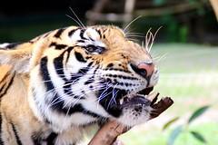 tigre (dannycarvajal1) Tags: tigri tigre tiger animal play animali felini gioco