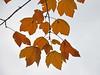 Foglie d'acero contro il cielo pallido (giorgiorodano46) Tags: viterbo acero monticimini fogliedacero montefogliano novembre2015