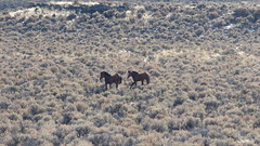 Beaty Butte wild horse gather, 2015 (BLMOregon) Tags: wild horses horse oregon butte beaty southern roundup gather