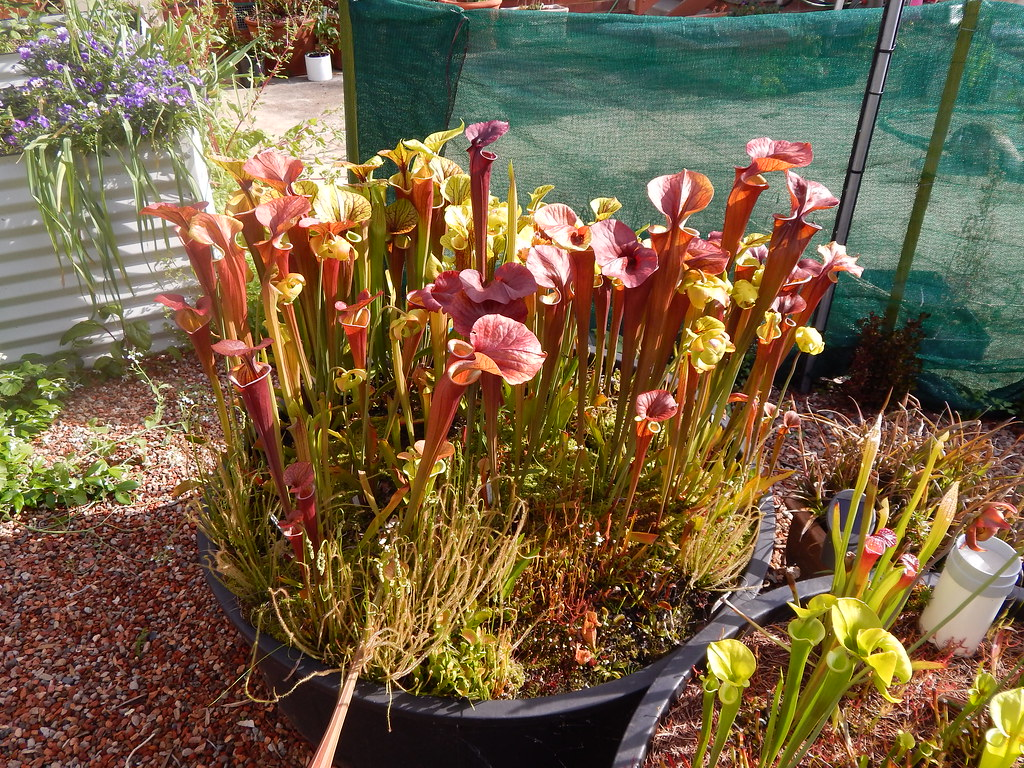 The World\'s Best Photos of bog and sarracenia - Flickr Hive Mind