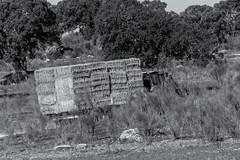 Alpacas (Eduardo Estllez) Tags: espaa tractor blancoynegro horizontal persona monocromo trabajo camino comida paisaje merida campo carro ganado paja alcornoques alpacas dehesa vehiculo extremadura encinas ganaderia agricultura remolque cornalvo trujillanos remolcar eduardoestellez estellez