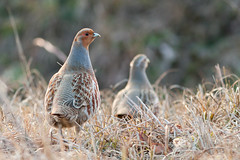 Grey partridges (Kristf Dis) Tags: bird nature animal grey hungary wildlife shy elusive termszet partridge partridges perdix madarak madr fogoly foglyok