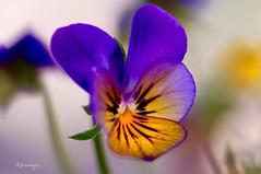 Une pensée pour ceux qui l'aime (kiareimages1) Tags: flowers flores colors fleurs couleurs images colores fiori imagenes colori imagery immagini