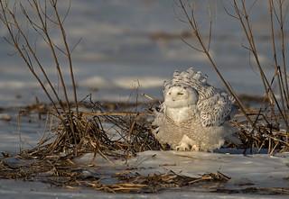 Snowy Owl: Bubo scandiacus (Explored)