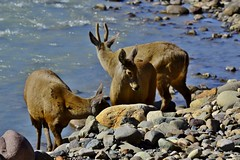 _DSC0879 Huemules-Ro de las vueltas-Chaltn-Santa Cruz-Argentina. (luispedrosocak) Tags: argentina rio agua piedras chaltn huemul