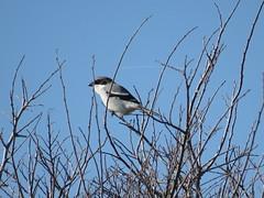 Loggerhead Shrike - Texas by SpeedyJR (SpeedyJR) Tags: nature birds texas wildlife loggerheadshrike nwr shrikes anahuacnationalwildliferefuge anahuacnwr nationalwildliferefuges chamberscountytexas speedyjr ©2015janicerodriguez