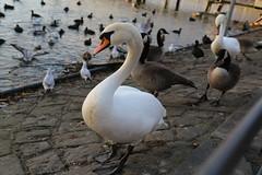 Hckerschwne ... (Pascal Volk) Tags: berlin swan schwan muteswan cygnusolor reinickendorf tegelersee canonef24105mmf4lisusm berlintegel canoneos6d laketegel