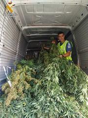 Incautacin de 38 plantas de marihuana (guardiacivilzaragoza) Tags: marihuana cannabis drogas