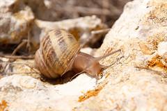 Snail (RunningRalph) Tags: malta slak snail mgarr