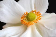 Anmone du Japon (Jourdheuil Clment) Tags: focusstacking anmonedujapon tamineorange pistil flowers offemont franchecomt orangestamen bokeh flou douceur clmentjourdheuil nikond7100 softness mellowness
