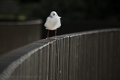 Not everything's black and white. (prueheron) Tags: gull kew bridge metal gardens bird baby resting