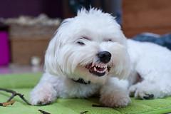 Waar zijn die Tandjes? (SLX_Image) Tags: gaston dog teeth maltezer malteeze 7dwf