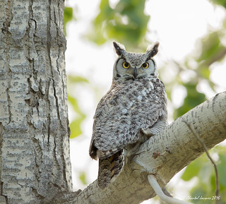 The innocent but intense look- Great Horned Owl Version!