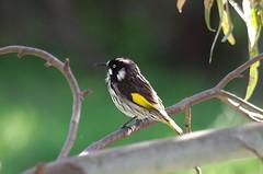 New Holland Honey Eater IMGP6309 (Cee Jay Cee) Tags: newhollandhoneyeater honeyeater australianbird bird