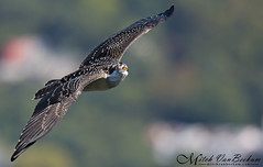 Juvenile Osprey (Mitch Vanbeekum Photography) Tags: osprey ospreyinflight juvenile statelinelookout alpine nj newjersey mitchvanbeekum mitchvanbeekumcom canon14teleconvertermkiii canonef500mmf4lisiiusm canoneos1dx flying inflight flight fly young pandionhaliaetus