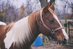 _DSC0049 (txjacob2) Tags: outdoor animal horse outside nikon d90 pet farm nay oklahoma majestic blue cloudy