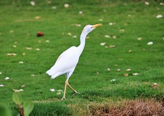 cattle egret (joybidge) Tags: trishcanada naturepatternscanada mauihawaii