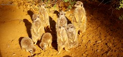 Meerkats (Shakar Photography) Tags: meerkat meerkats ermnnchen erdmnnchen animal park augsburg zoo tierpark germany bayern bavaria deutschland