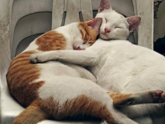 send me the pillow that you dream on (DOLCEVITALUX) Tags: cat cats feline philippines animal dream sleep