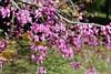 Cercis siliquastrum, Clyne Gardens (WilliamWWD) Tags: cercis siliquastrum clyne gardens macro pink flowers tree