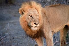 Sudafrica 2016 (ManuSupetramp) Tags: africa southafrica safari lion sudafrica kruger
