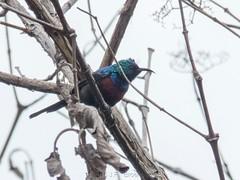 Mariqua Sunbird (Makgobokgobo) Tags: mariquasunbird sunbird bird garuga entebbe uganda africa cinnyrismariquensis cinnyris